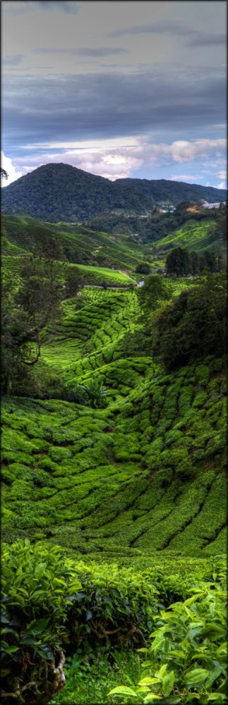 Cameron Highlands V (PBH3 00 23591)