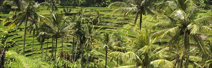 Rice Terraces - Bali (PBH4 00 16574)