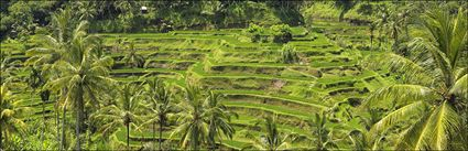 Rice Terraces - Bali (PBH4 00 16581)