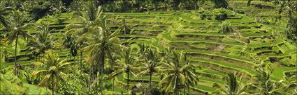 Rice Terraces - Bali (PBH4 00 16583)