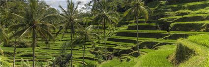 Rice Terraces - Bali (PBH4 00 16711)
