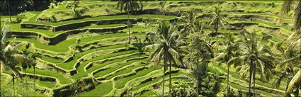 Rice Terraces - Bali H (PBH4 00 16568)