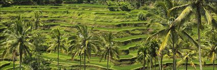 Rice Terraces - Bali H (PBH4 00 16572)