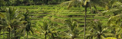 Rice Terraces - Bali H (PBH4 00 16578)