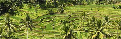 Rice Terraces - Bali H (PBH4 00 16584)