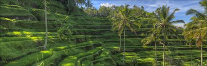 Rice Terraces - Bali H (PBH4 00 16656)