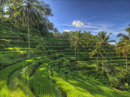 Rice Terraces - Bali SQ (PBH4 00 16656)