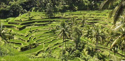 Rice Terraces - Bali T (PBH4 00 16568)