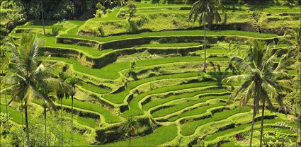 Rice Terraces - Bali T (PBH4 00 16570)
