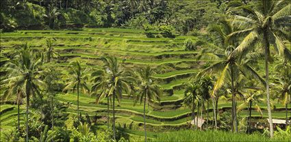 Rice Terraces - Bali T (PBH4 00 16572)